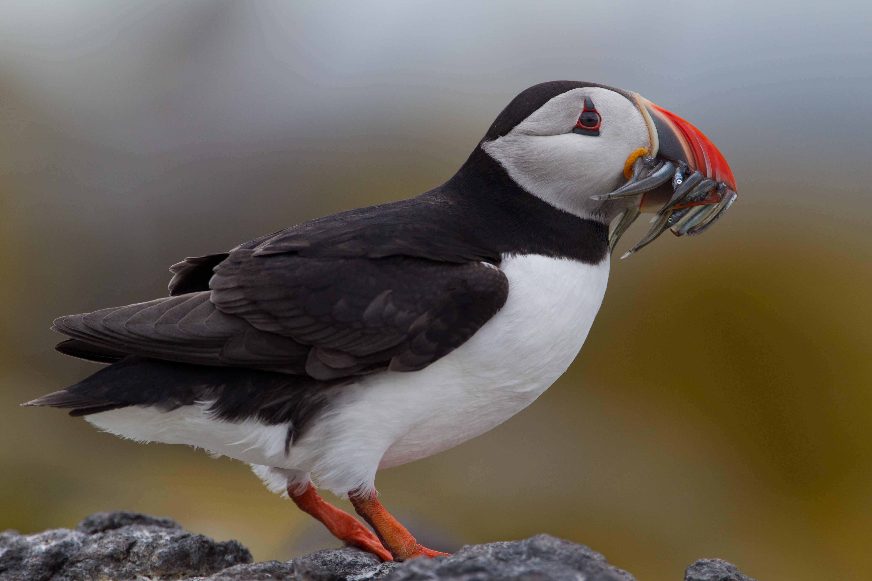 kelioniu draudimas - auk puffin jūrinis paukštis